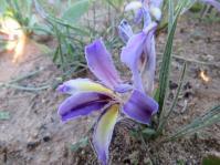 Babiana sambucina subsp. sambucina