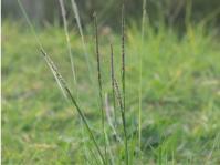 Sporobolus africanus