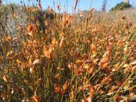 Willdenowia incurvata