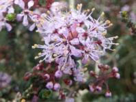 Agathosma orbicularis
