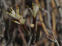 Kleinia longiflora (Tony Rebelo)