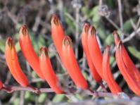 Astroloba rubriflora