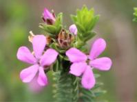 Acmadenia kiwanensis