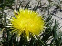 Conicosia pugioniformis subsp. pugioniformis