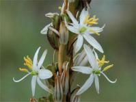 Chlorophytum bowkeri (Mary Sue Ittner)
