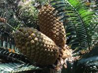 Encephalartos aemulans
