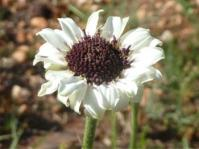 Callilepis leptophylla
