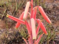 Aloe kniphofioides