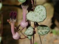 Ceropegia linearis subsp. woodii