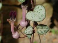 Ceropegia linearis subsp. woodii
