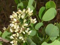 Dalbergia melanoxylon