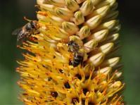 Aloe spicata