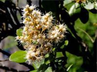 Brachylaena glabra