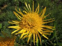 Berkheya setifera (Photo Marinda Koekemoer)