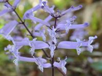 Plectranthus hilliardiae subsp. hilliardiae, flowers. (Photo Alice Notten)