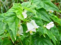 Begonia homonyma