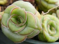 Crassula cremnophila