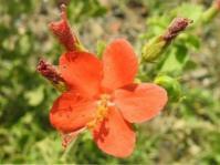 Hibiscus coddii