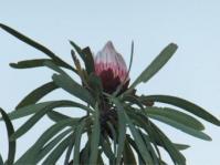 Protea curvata