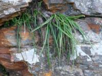 Aloe andersonii