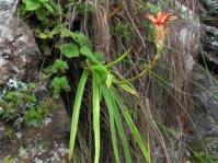 Aloe condyae