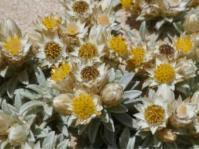 Achyranthemum sordescens