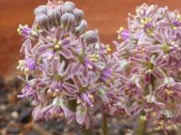 Ledebouria atrobrunnea