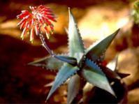 Aloe meyeri