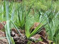 Aloe neilcrouchii