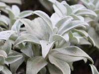 Helichrysum sutherlandii
