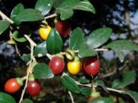 Diospyros natalensis