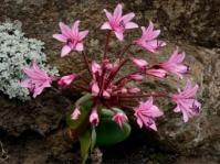Brunsvigia natalensis