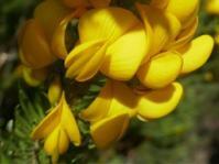 Cyclopia pubescens