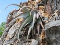 Aloe corallina