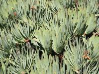 Striking mass of fan-like rosettes of Kumara plicatilis. Photo A.W. Klopper