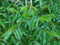 Commiphora woodii