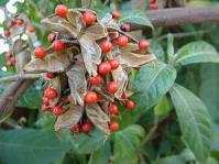 Abrus precatorius subsp. africanus pods