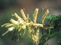 A.ataxacantha flowers
