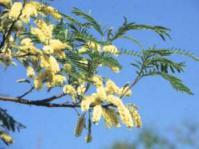 Flowers of Senegalia caffra