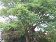 Senegalia galpinii
