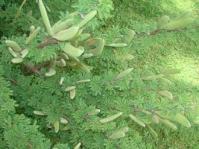 Vachellia hebeclada foliage
