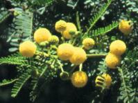 Flowers of Vachellia karroo