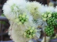 Flowers of Senegalia mellifera subsp. detinens