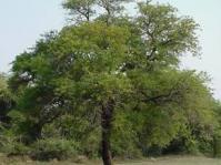 Senegalia nigrescens