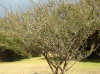 Vachellia  tortilis subsp. tortilis tree