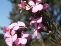 Acmadenia trigona