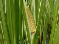 Acorus calamus.Image from Wikipedia
