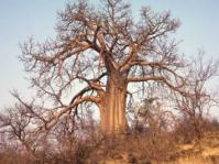 Baobab in the dry season