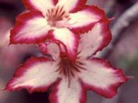 Adenium multiflora