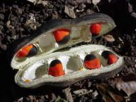 Seeds of A. quanzensis Photo: G Nichols